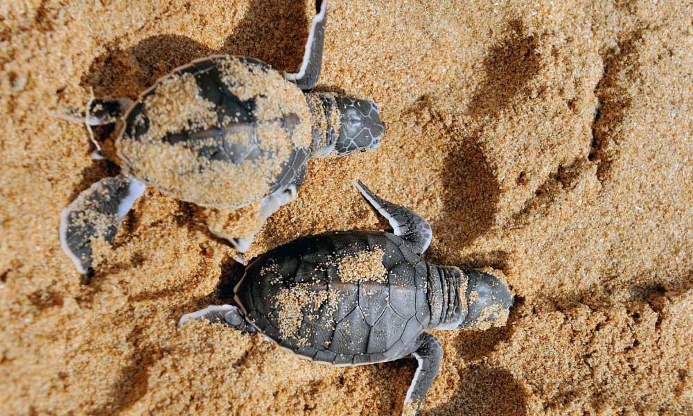crías de tortuga marina